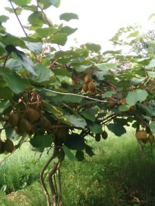 kiwi plantation Bernard